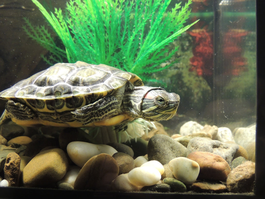 Turtle in a fish tank