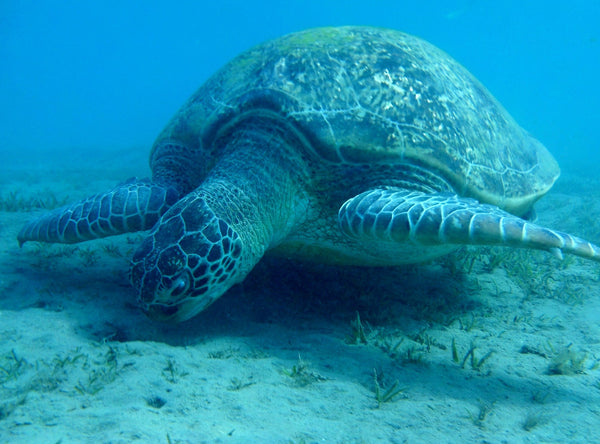 sea turtle eating sea grass saving the endangered sea turtle sandy ripple blog