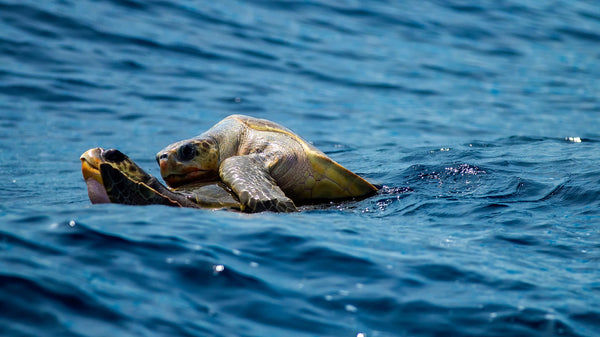 Sea turtles mating picture