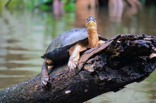 Types of Turtles River Turtle