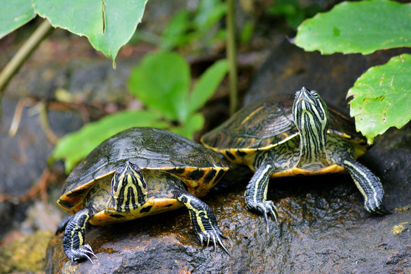 healthy terrapin turtles in natural habitat