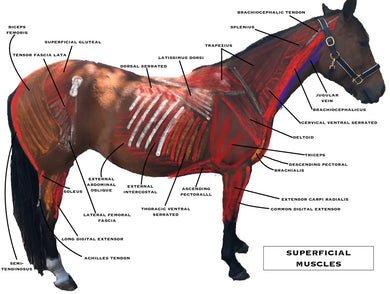 Horse Owner's Guide to Equine Massage - Animal Rehabilitation Australia