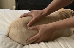 Dog Owner's Guide to Canine Massage Course - Online - Animal Rehabilitation Australia