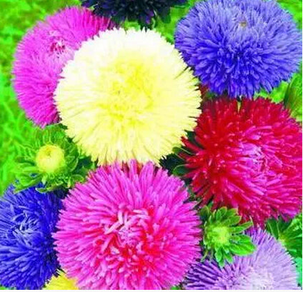 China Aster chrysanthemum Flower seeds 50pcs/bag Bonsai - Lovely Seeds
