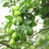 Green Jujube Seeds 10pcs - Lovely Seeds