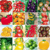Tomato Seeds Mixed 100pcs 24 kinds - Purple Black Red Yellow Green - Lovely Seeds