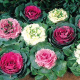Kale Flowering Ornamental Cabbage 100pcs - Lovely Seeds