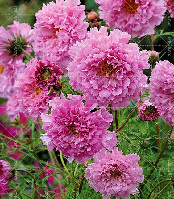 Double Cosmos Seeds 100pcs Perennial Bonsai Chrysanthemum - Lovely Seeds