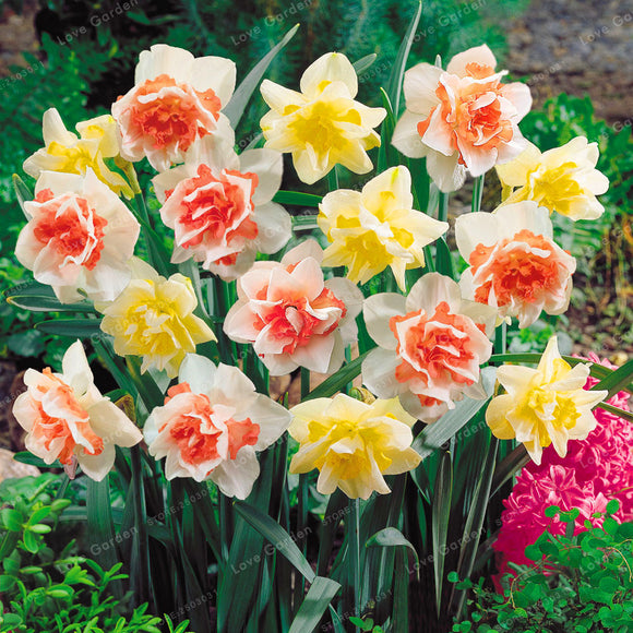 Narcissus Flower Daffodil Seeds 100pcs Double Petals Absorption Radiation Potted DIY - Lovely Seeds