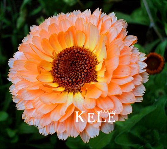Calendula Pink Surprise Flower Seeds Rare Color 100pcs Amazing Beautiful DIY Home Garden Flower - Lovely Seeds