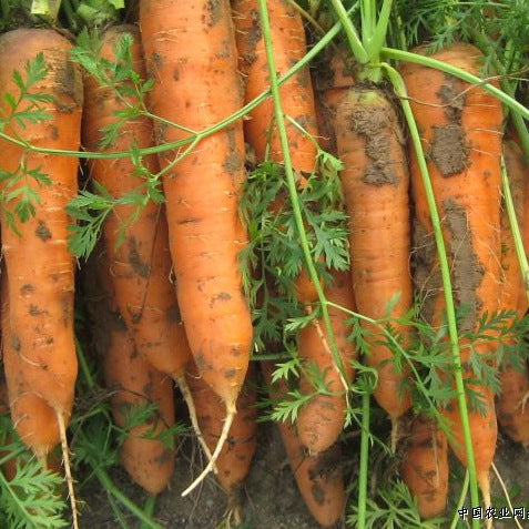 Carrot Seed 100pcs 5 inch - Lovely Seeds