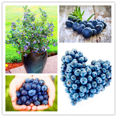 Blueberry Seed 100 pcs - Lovely Seeds