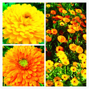 Calendula officinalis flower seeds 100pcs Yellow Marigold Flower - Lovely Seeds