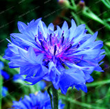 Cornflower (Centaurea Cyanus) Seeds White Centaurea cyanus 100pcs/bag EXCELLENT CUT FLOWER - Lovely Seeds