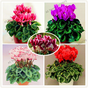 Cyclamen Flower Seeds 100pcs - Lovely Seeds