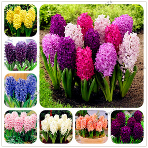 Hyacinth seeds 100pcs Perennial Flower - Lovely Seeds