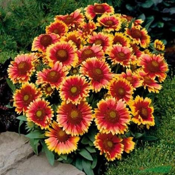 Gaillardia Pulchella seeds 20 seeds/Pack - Lovely Seeds