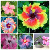 Hibiscus Seeds 12 kinds 200pcs Giant Hibiscus - Lovely Seeds