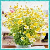 Chamomile Seeds 200pcs/bag German Fragrant - Lovely Seeds