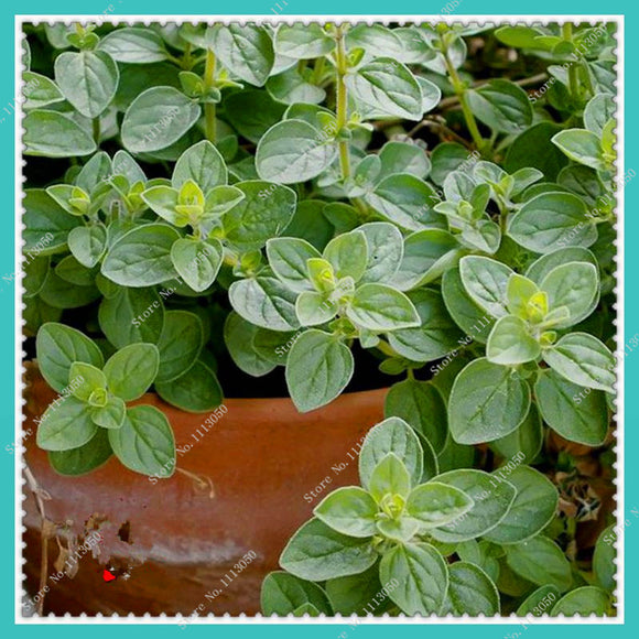 Oregano Herb Seeds spice seasoning kitchen vegetable seeds 200pcs - Lovely Seeds