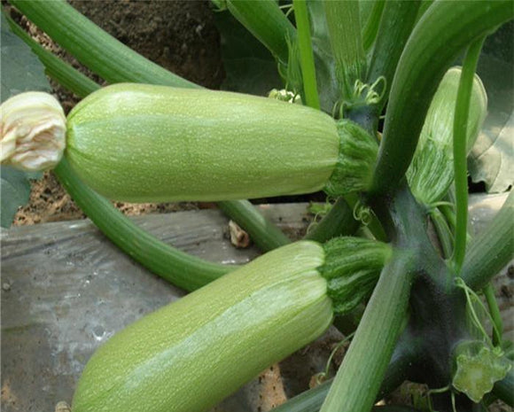 Zucchini Seeds 10 seeds - Lovely Seeds