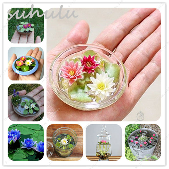 Lotus Seeds Mini 5pcs New Hyacinth Pond Water Lily Seeds Indoor Pots - Lovely Seeds