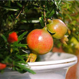 Pomegranate fruit seeds 50pcs - Lovely Seeds