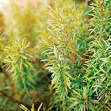 Rosemary Seeds Herb Seed 500pcs beautiful DIY Garden Plant - Lovely Seeds