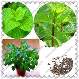 Catnip Spearmint Herb seeds 500pcs - Lovely Seeds