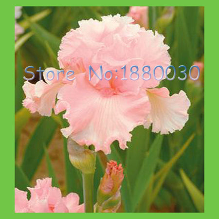 Iris delicate pale pink flower seed 50pcs - Lovely Seeds