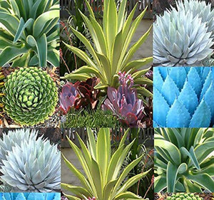 20 Agave Species Seeds Mix - Excellent House Plants cactus cacti succulent - Lovely Seeds