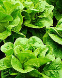 Lettuce Seed Variety Pack- Buttercrunch,Iceberg,Red Romaine,Parris Island Romaine- 4,200 Seeds - Lovely Seeds