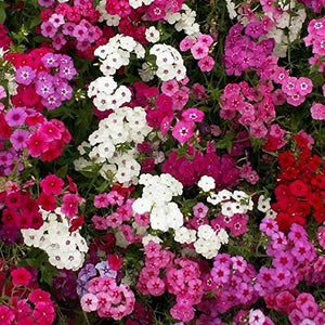 Phlox Flower Seeds mixed color 200 Seeds - Lovely Seeds