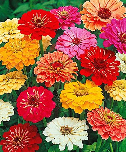 Zinnia Flower Seed Mix 50 Seeds - Lovely Seeds