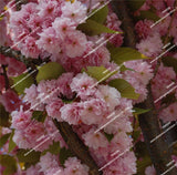 Japanese Sakura Seeds Cherry Blossoms Pink Flowers Seeds Indoor plant 15 seeds - Lovely Seeds