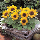 Sunflower Seeds Dwarf Ornamental Potted plants  30pcs/bag - Lovely Seeds