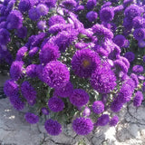 Dwarf Aster seeds Callistephus chinensis Mixed color seed 100pcs/bag - Lovely Seeds