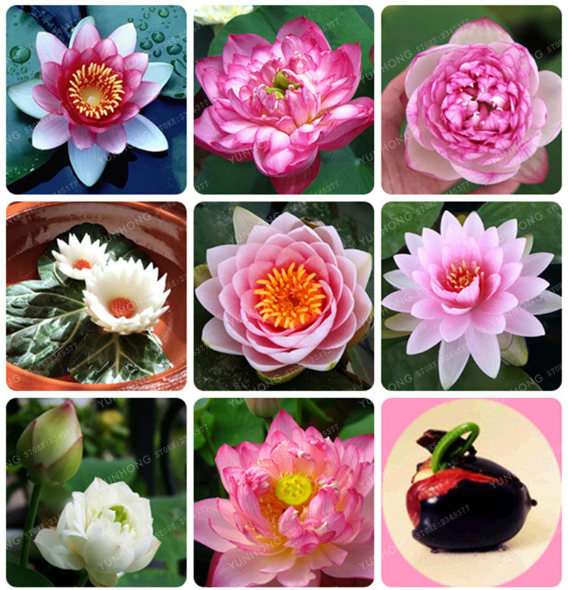 Lotus Flower Hydroponic Aquatic Plants Bowl Lotus Seeds Water Lily