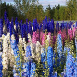 Delphinium Seeds beautiful outdoor Plant for home garden High germination 100pcs/bag - Lovely Seeds