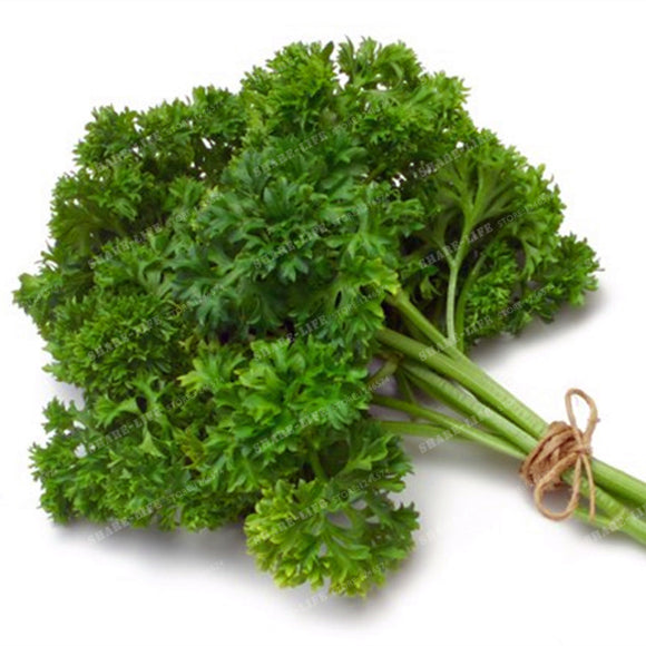 Parsley Seeds Herb 100g/bag The Italian Big leaf Parsley - Lovely Seeds