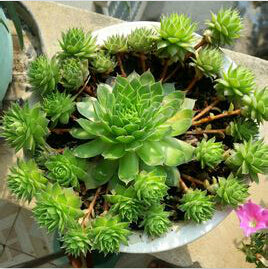 Sedum seeds 60pcs - Lovely Seeds