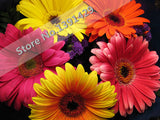 Gerbera seed indoor bonsai plant flower seeds 50pcs chrysanthemum Mixed Colors. - Lovely Seeds