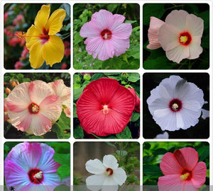 Heirloom Hibiscus Moscheutos Mixed 9 Colors Mallow Rose Flower Seeds 20pcs - Lovely Seeds