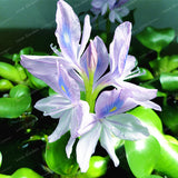 Water Hyacinth Seeds 100pcs/bag Garden Pond Flowers Pots Bonsai Seed Aquatic Jardim Plantas - Lovely Seeds