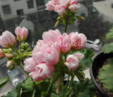 Geranium Peach Pink Ball Flower Seeds 5 Seeds - Lovely Seeds