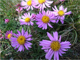 Alpine Aster seeds 50pcs - Lovely Seeds