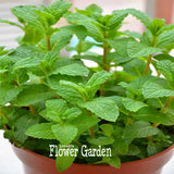 Mint Seeds 200pcs - Lovely Seeds