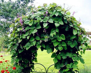 Home Garden Plant Purple Dolichos lablab HYACINTH BEAN VINE 10 Seeds Non-GMO - Lovely Seeds