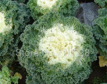 Kale and cabbage seeds - red and white 30 seeds - Lovely Seeds