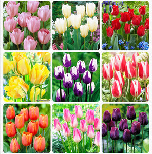 Tulip Seeds 10pcs High-Grade Flower - Lovely Seeds